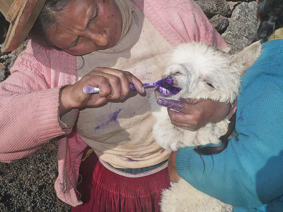 Tratamiento-topico-por-la-plantera-Esebia-Condemayta-Ccachi-Ccachi-Marcapata