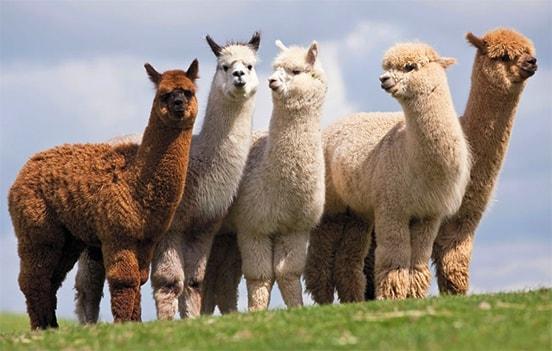 cuotas-camelidos